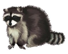 Raccoon PNG - 18252