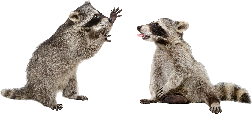 Raccoon PNG - 18240
