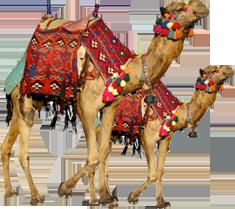 Camel Safari - Rajasthani Dance PNG