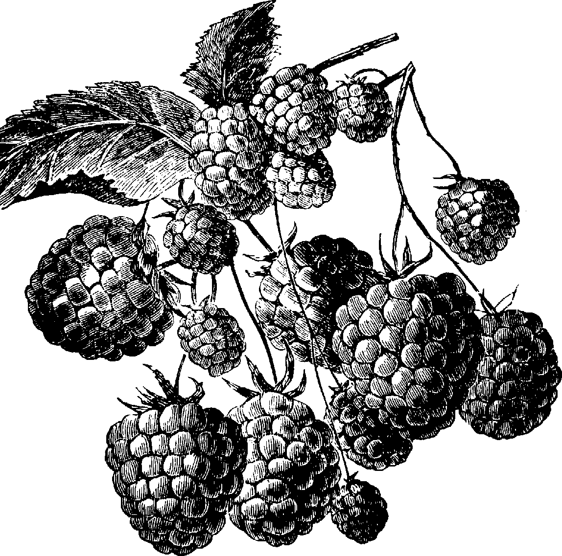 Raspberry PNG Black And White