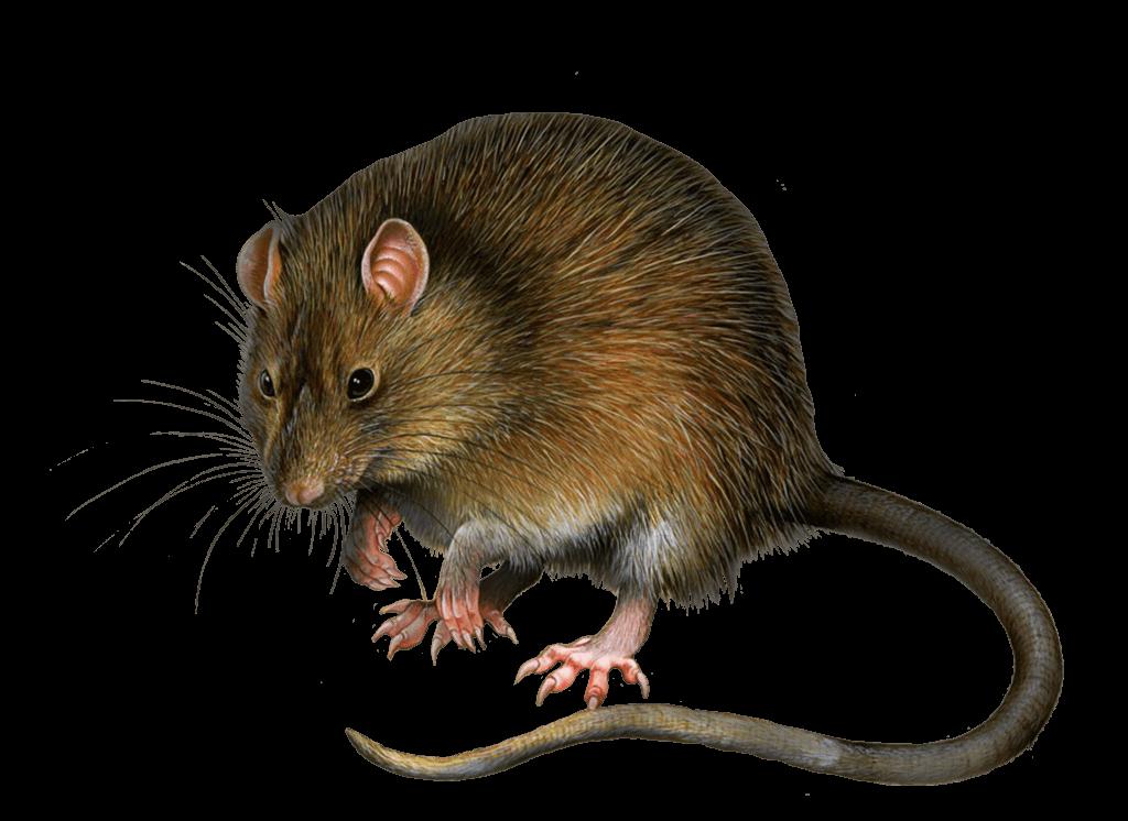 Rat Mouse PNG - 14822