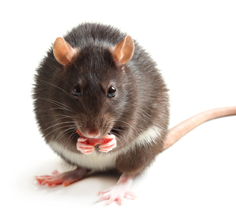 Februaryu0027s Feature: Rat and Mouse Feeds u0026 Supplies - Rat Mouse PNG