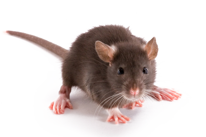 For self defense, rats are nocturnal and become active after a premises has  become quiet, or about one 1/2 hour after dusk. When left alone they will  roam PlusPng.com  - Rat Mouse PNG