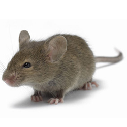 House Mouse - Rat Mouse PNG