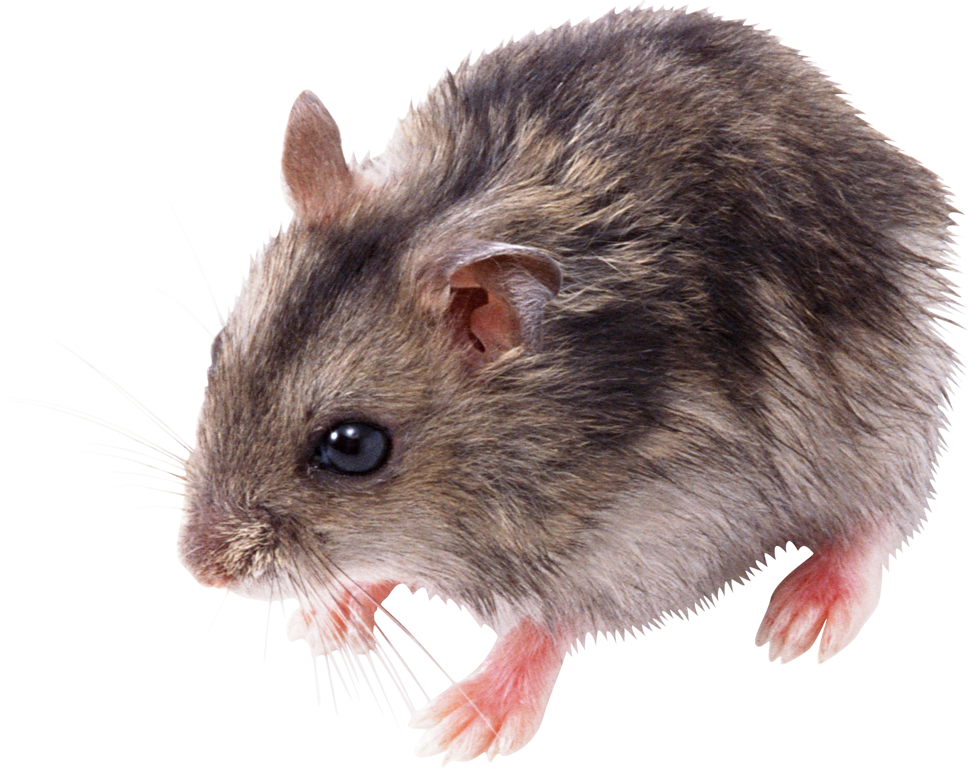 Rat Mouse PNG - 14809