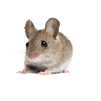 Little Mouse Rat Png Image PNG Image - Rat Mouse PNG