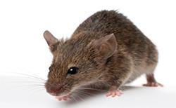 Rat Mouse PNG - 14820