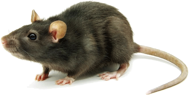 Mice u0026 Rats commonly found in the Canberra ACT Area - Rat Mouse PNG