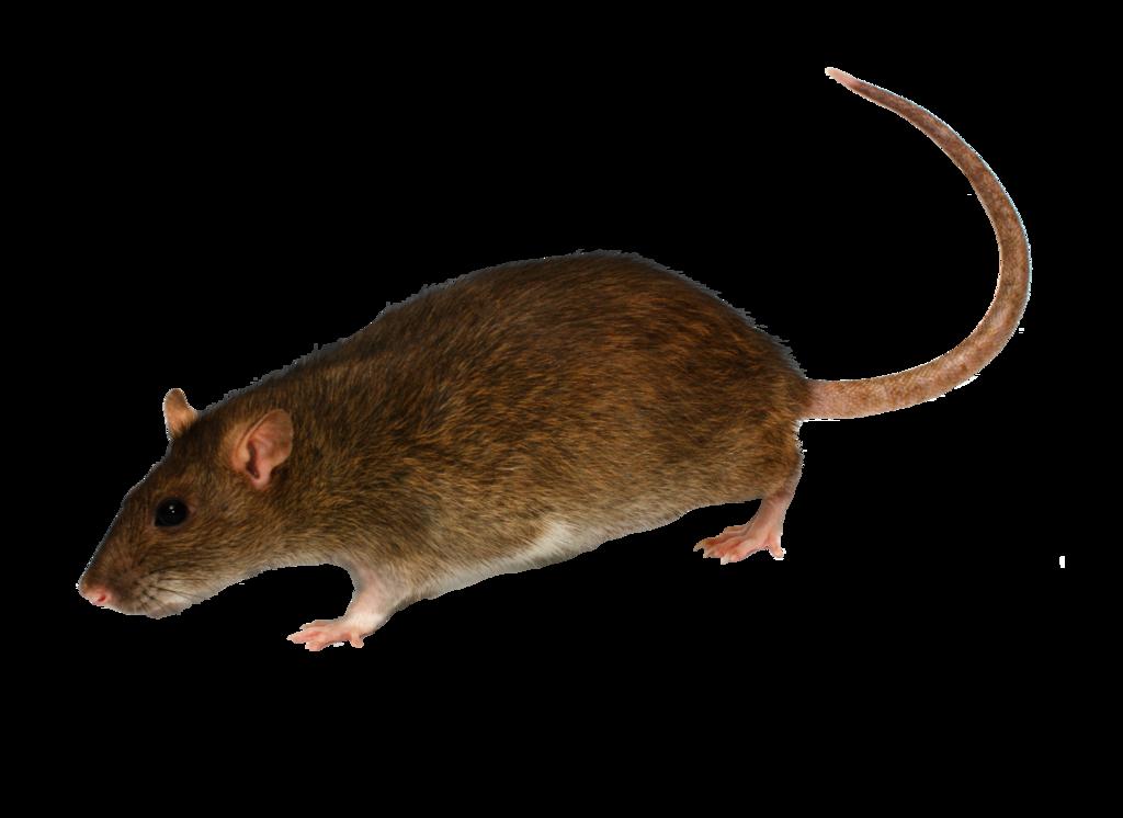 Rat Mouse PNG - 14829