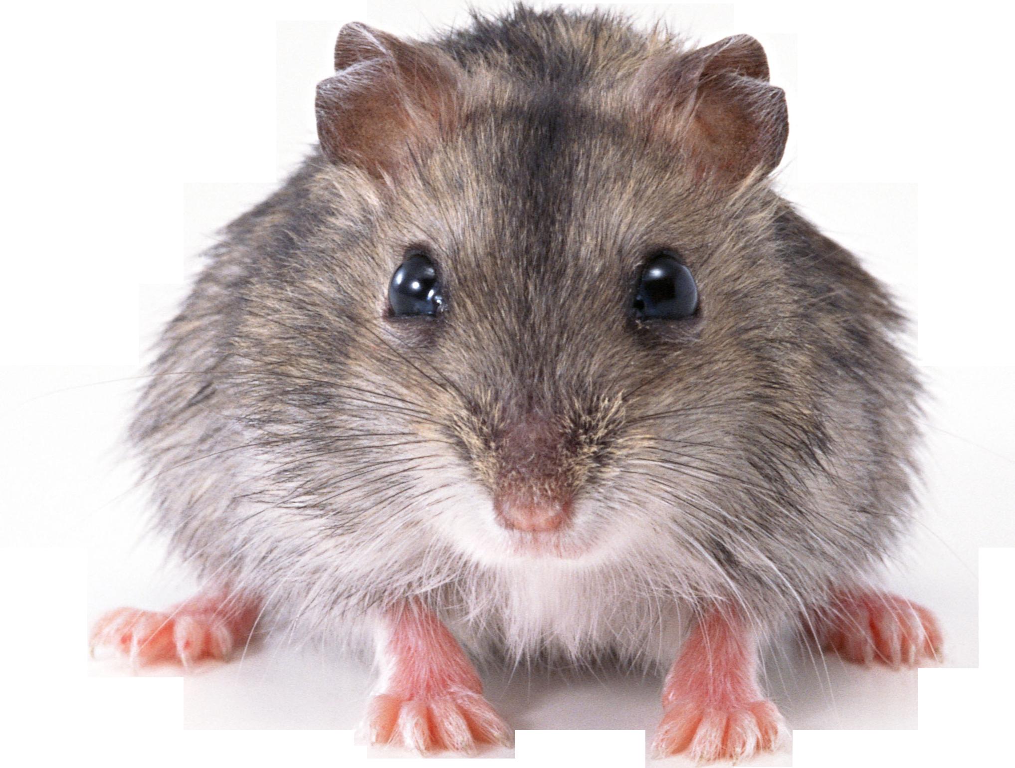 Rat Mouse PNG - 14808