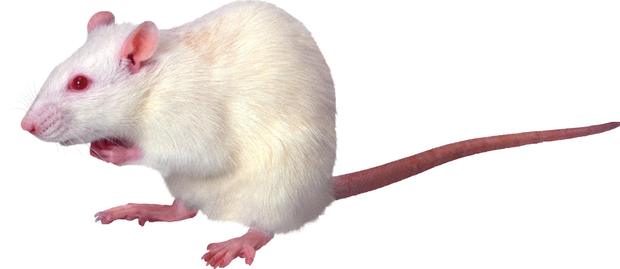 Rat Mouse PNG - 14818