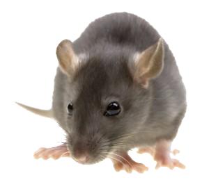 Rat Mouse PNG - 14814