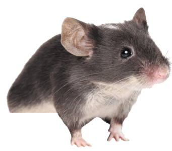 mouse, rat PNG image - Rat Mouse PNG