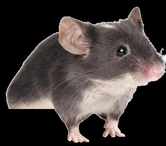 Rat Mouse PNG - 14816