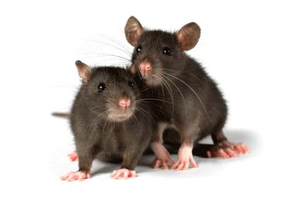 Rat Mouse PNG - 14810