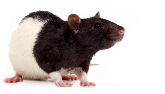 Rat Mouse PNG - 14826