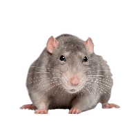 Mouse Rat Png Image PNG Image - Rat Mouse PNG