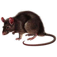 Brown Rat.png - Rat PNG
