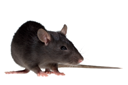 Clipart Info - Rat PNG