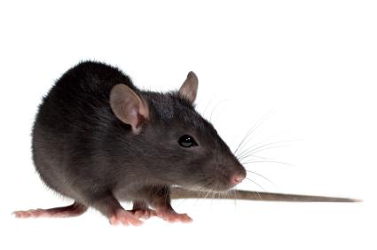 Rat PNG - 17995