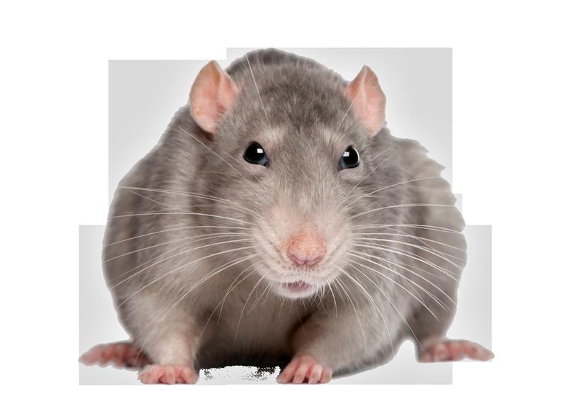 Rat PNG - 17998