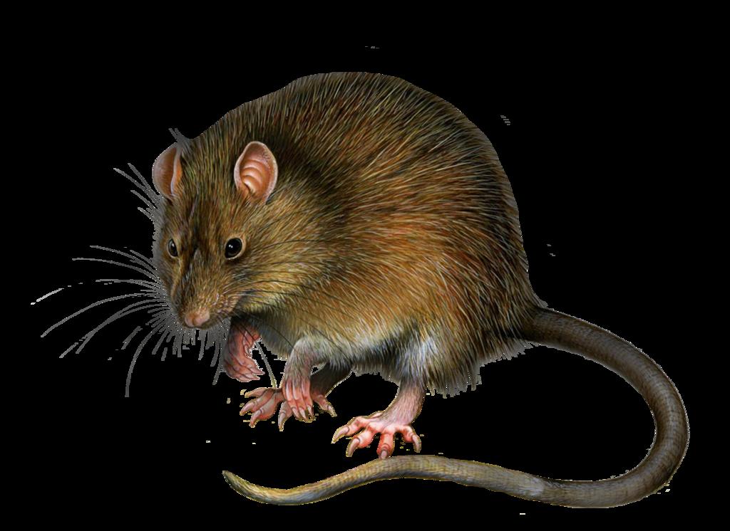 Rat PNG - 17987