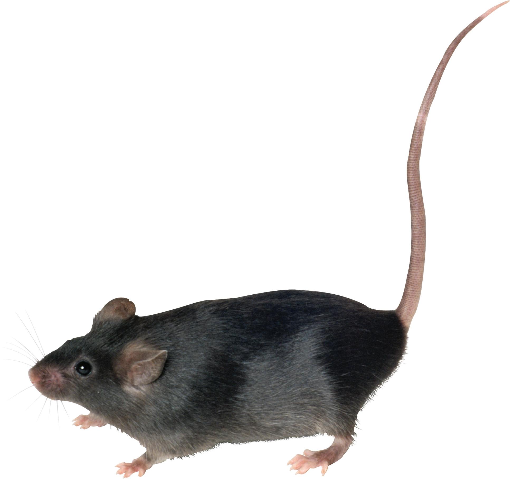 Rat PNG - 17986