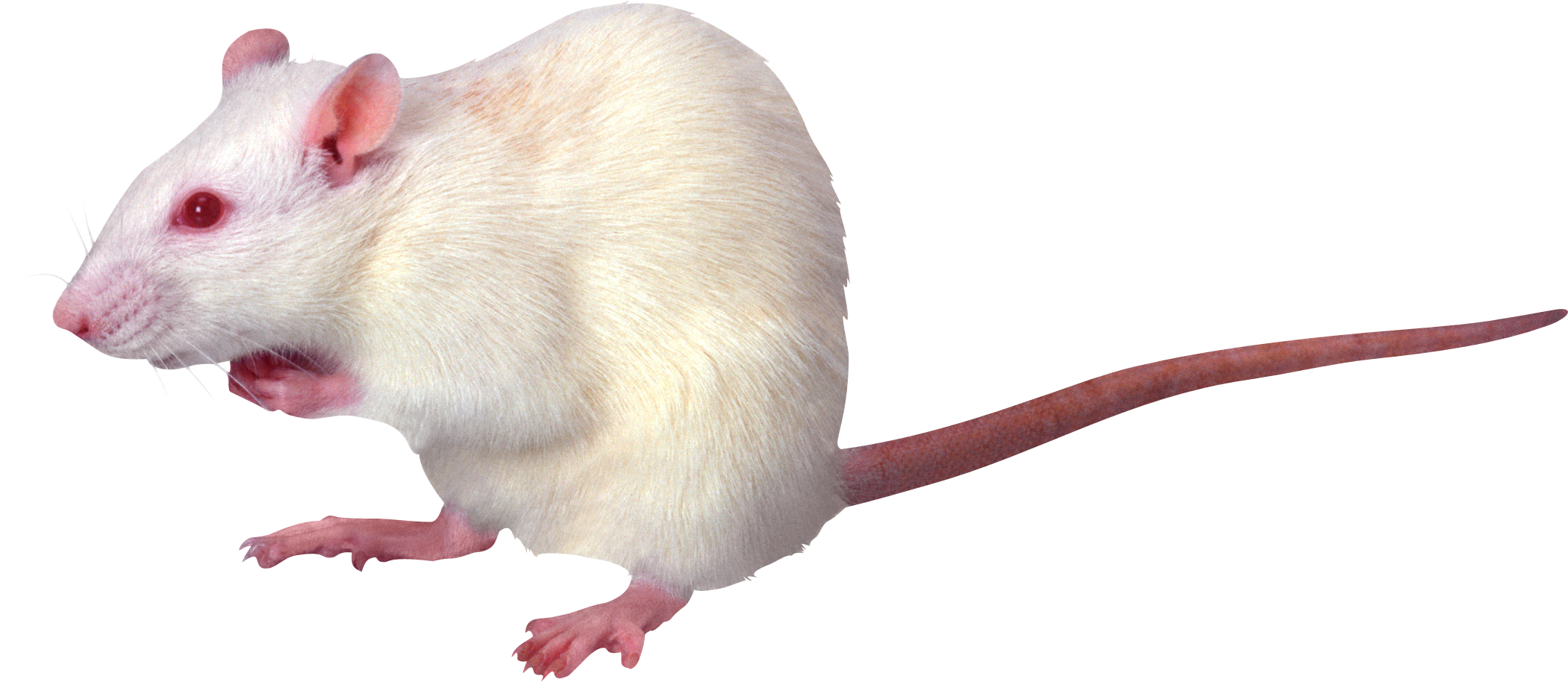 Rat PNG - 17996