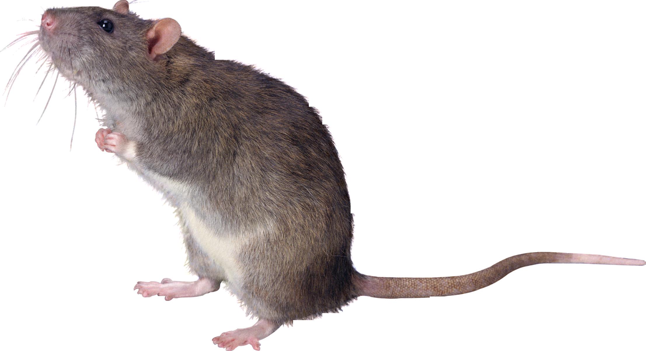 Rat PNG - 17980