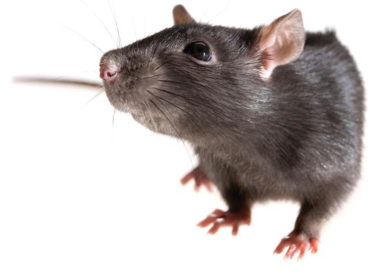 Rat PNG - 17983