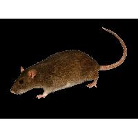 Mouse Rat Png Image PNG Image - Rat PNG