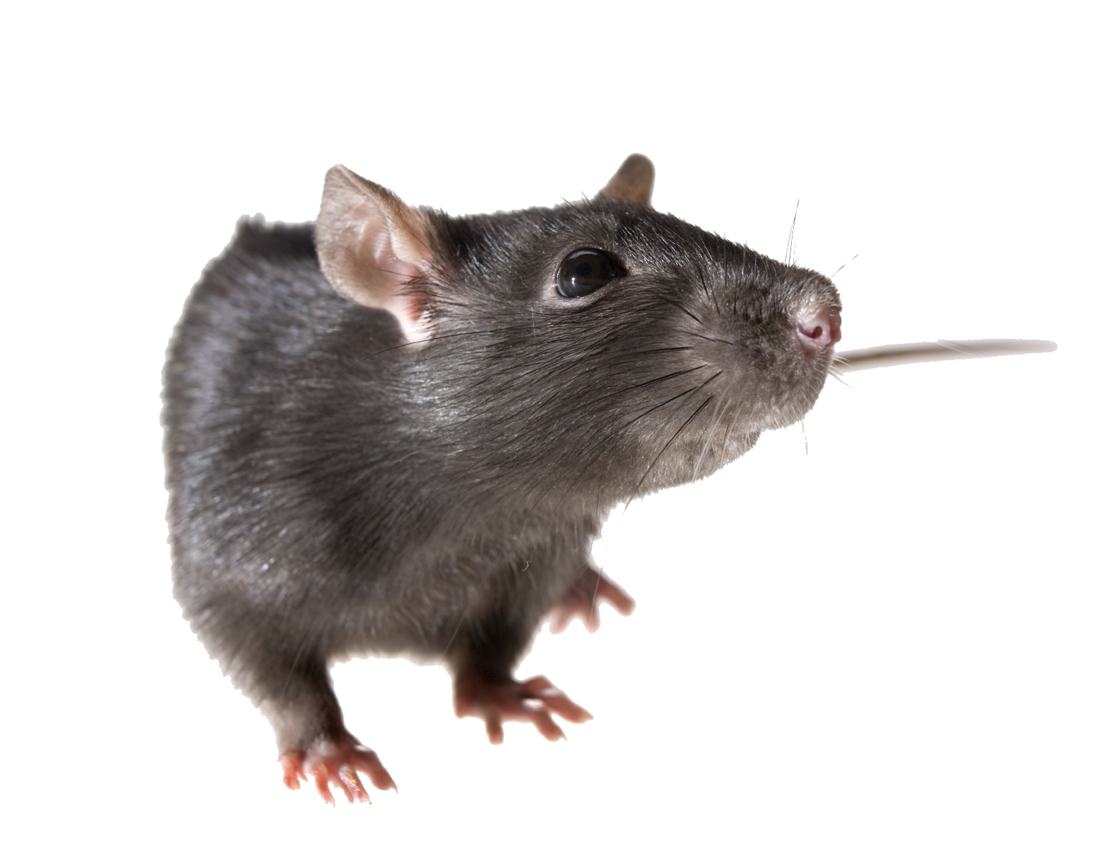 PNG File Name: Rat PNG Pic Dimension: 1570x1223. Image Type: .png. Posted  on: Sep 14th, 2016. Category: Animals Tags: Rat - Rat PNG