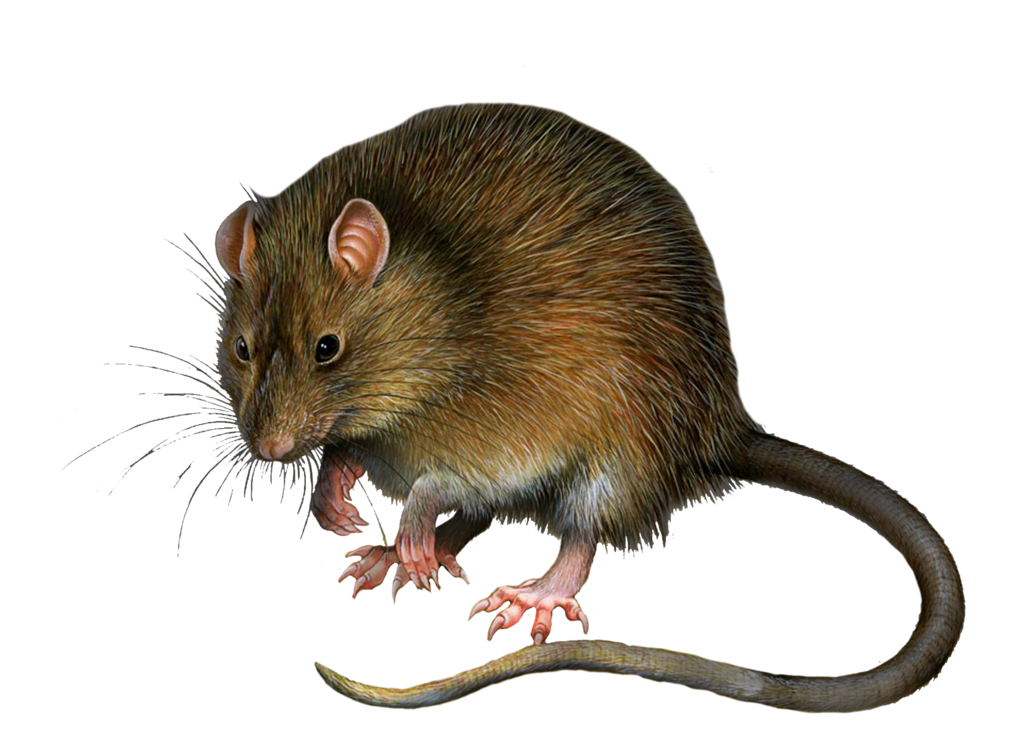 Png Rat 3 by Moonglowlilly - Rat PNG
