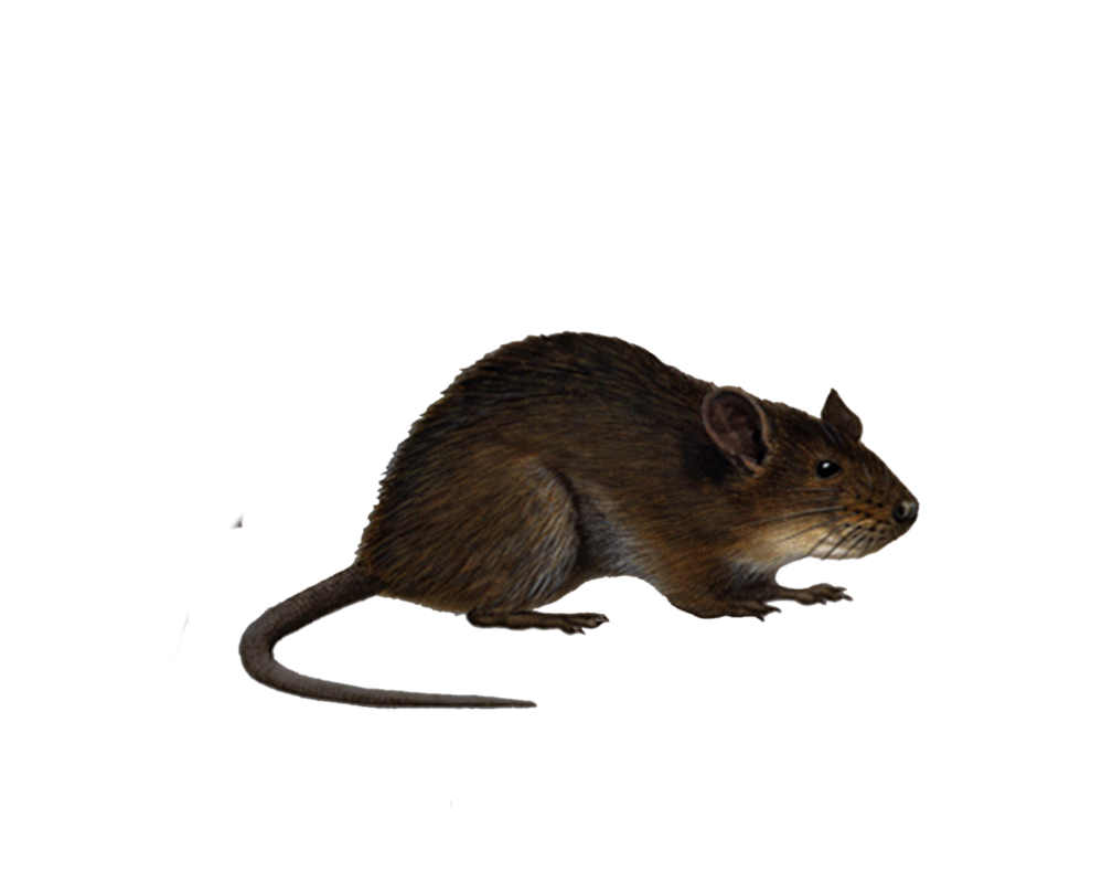 Png Rat 4 by Moonglowlilly PlusPng.com  - Rat PNG