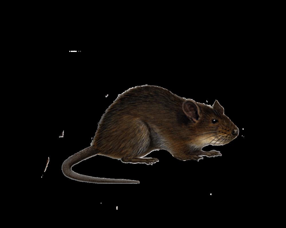 Rat PNG - 17991