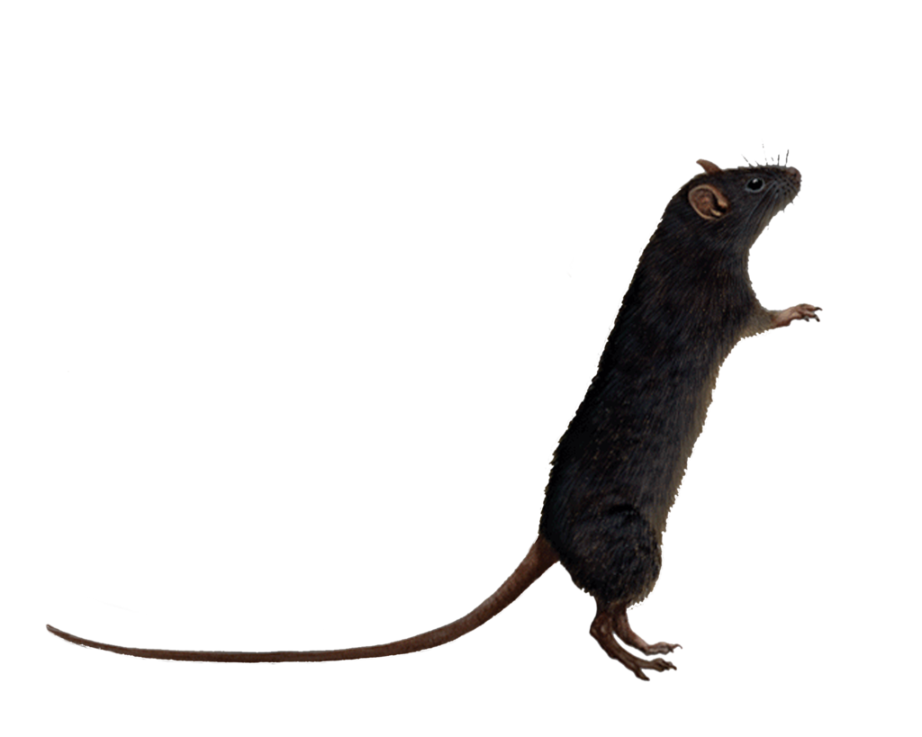 Rat PNG - 17989