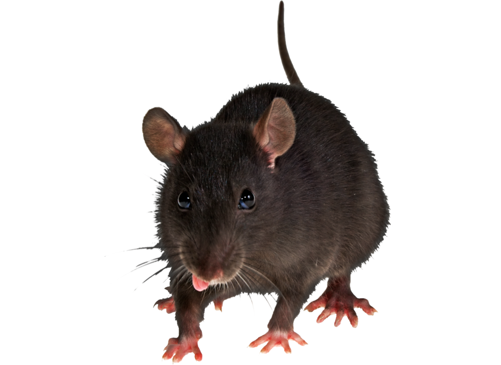 Png Rat by Moonglowlilly - Rat PNG