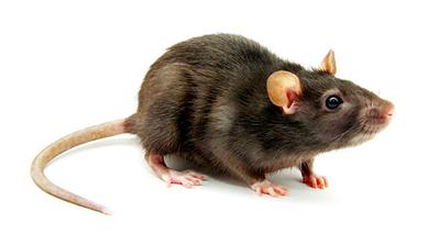 Rat PNG - 17994