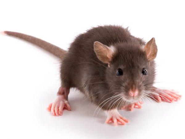 Rat PNG - 17997