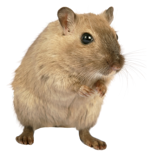 Rat Mouse PNG Transparent Image - Rat PNG
