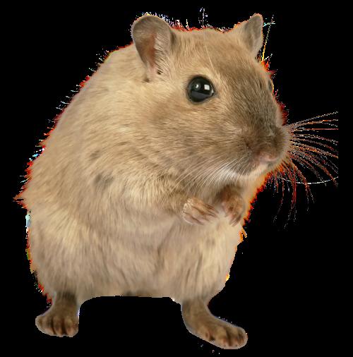 Rat PNG - 17990