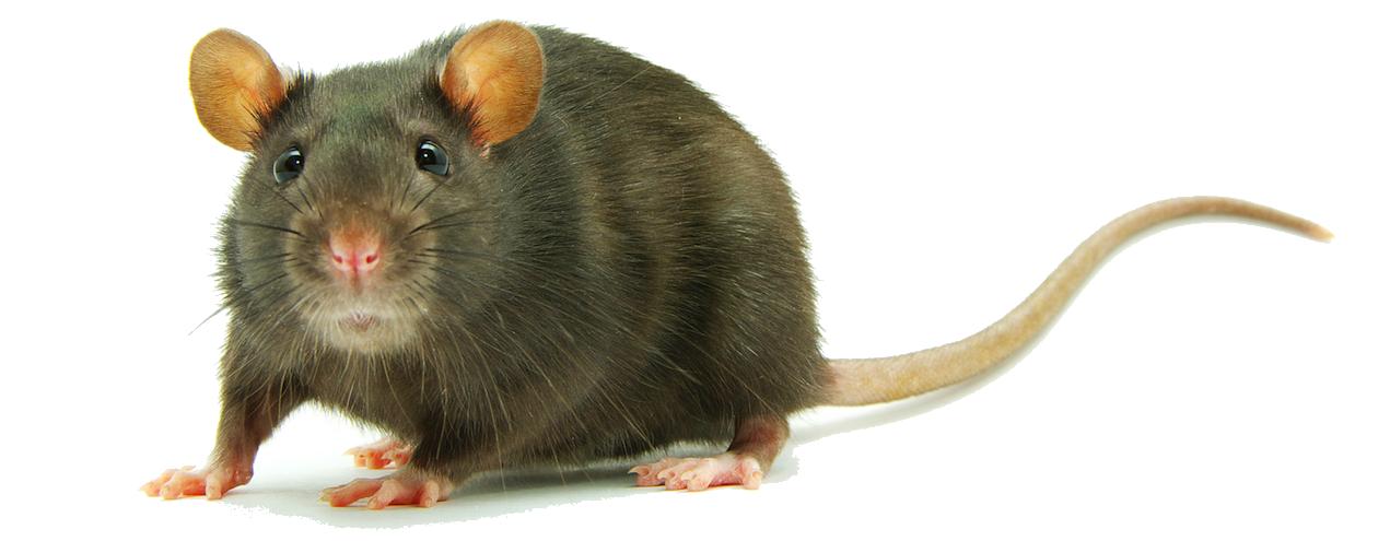 Rat PNG Clipart - Rat PNG