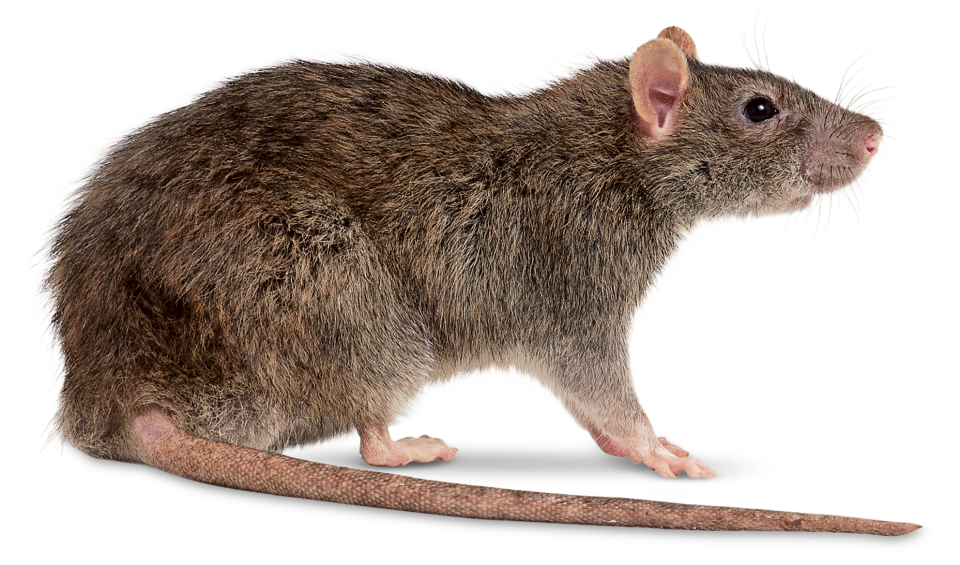 Rat PNG File - Rat PNG