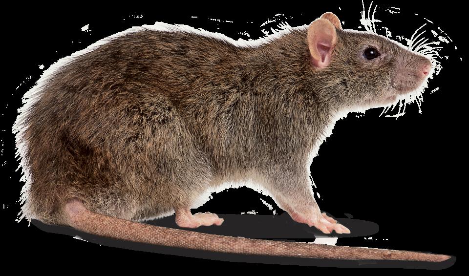 Rat PNG - 17985