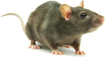 Rat PNG HD - Rat PNG