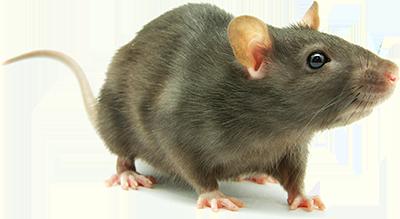 Rat PNG - 17984