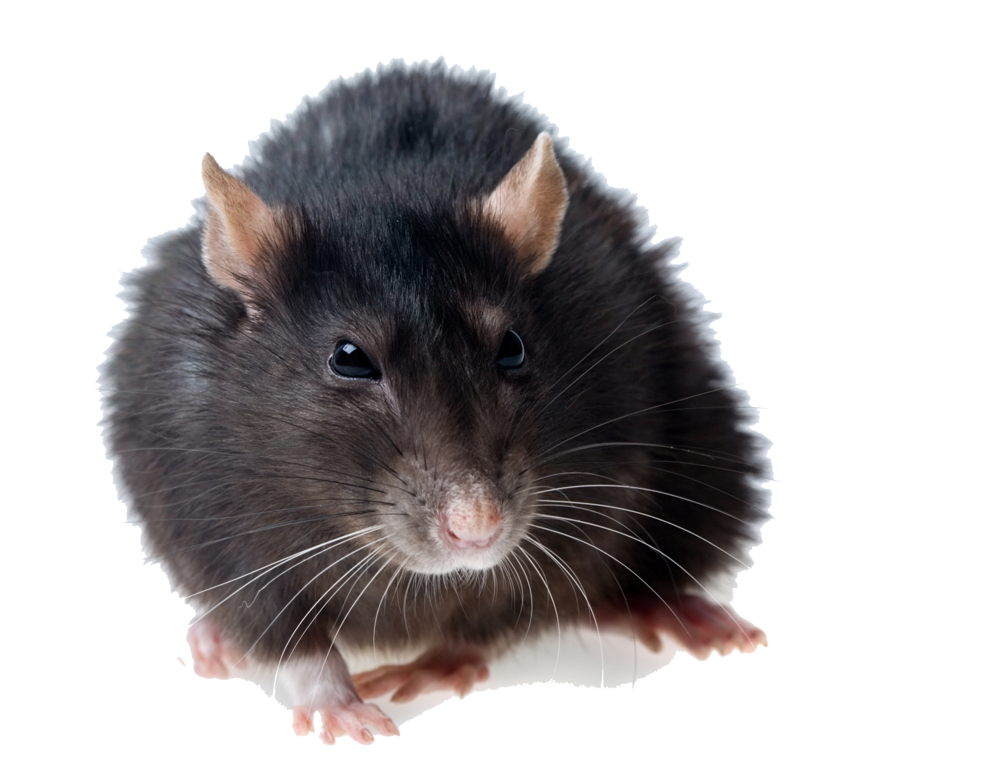 Rat PNG Photos - Rat PNG