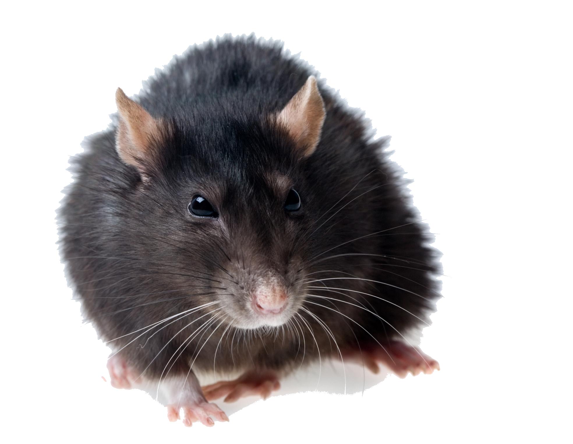 Rat PNG - 17993