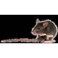 Rat Png PNG Image - Rat PNG