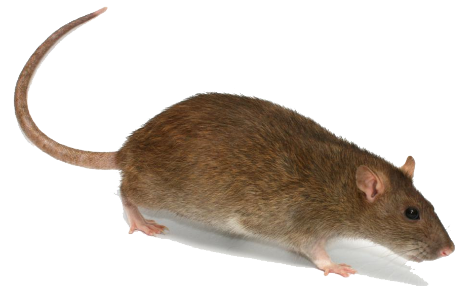 Rat PNG Transparent Image - Rat PNG